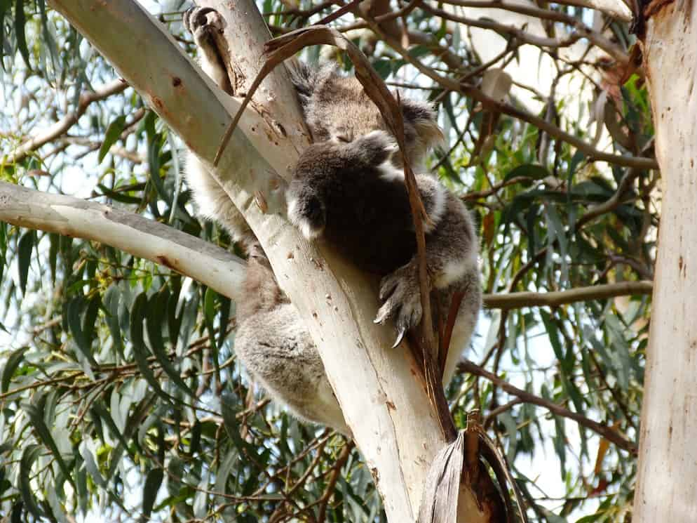 Mamma koala con piccolo