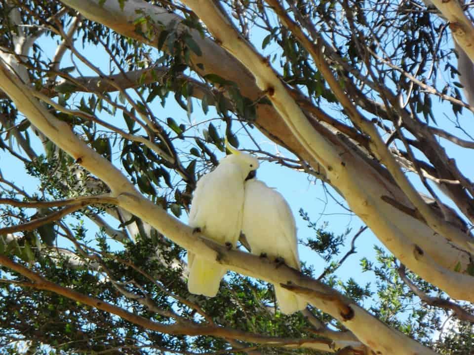 Kakdu pappagalli