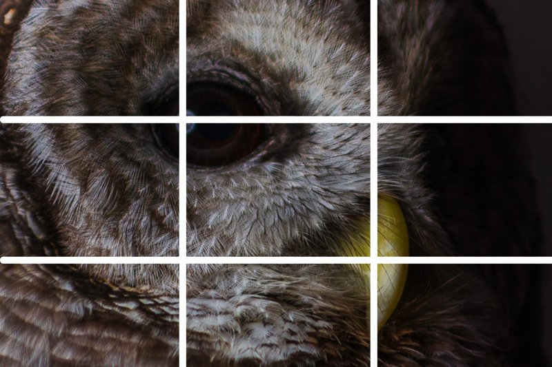 Barred owl with eye and beak positioned on intersecting lines to demonstrate rule of thirds