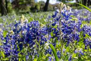 Field of Texas bluebonnets In Spring