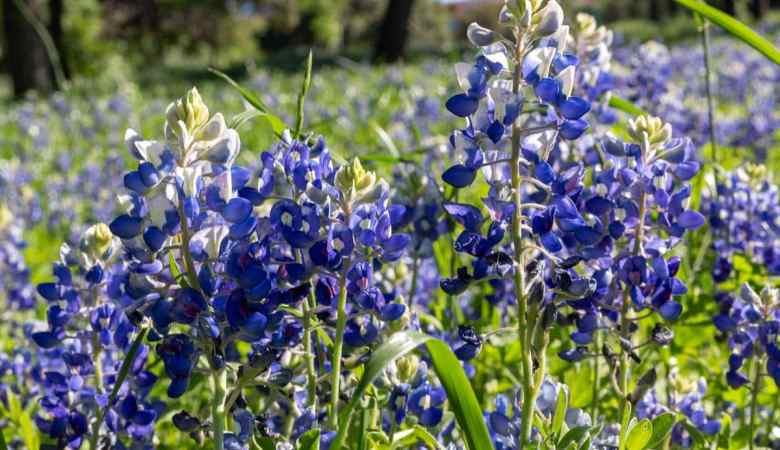 Field of Texas Wildflowers In Spring