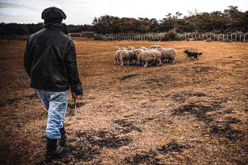 Rancher and sheep dog herding sheep