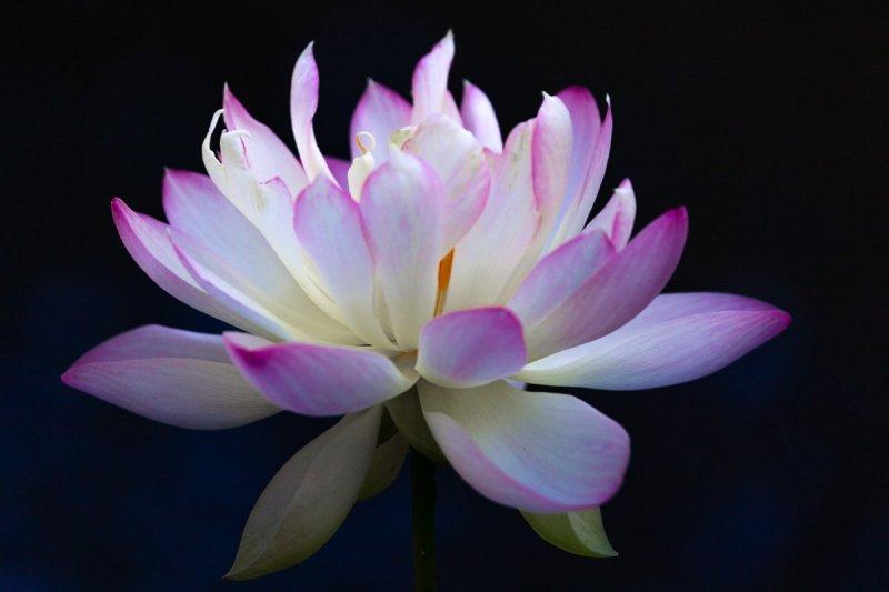 Closeup of A Beautiful Pink Lotus Flower