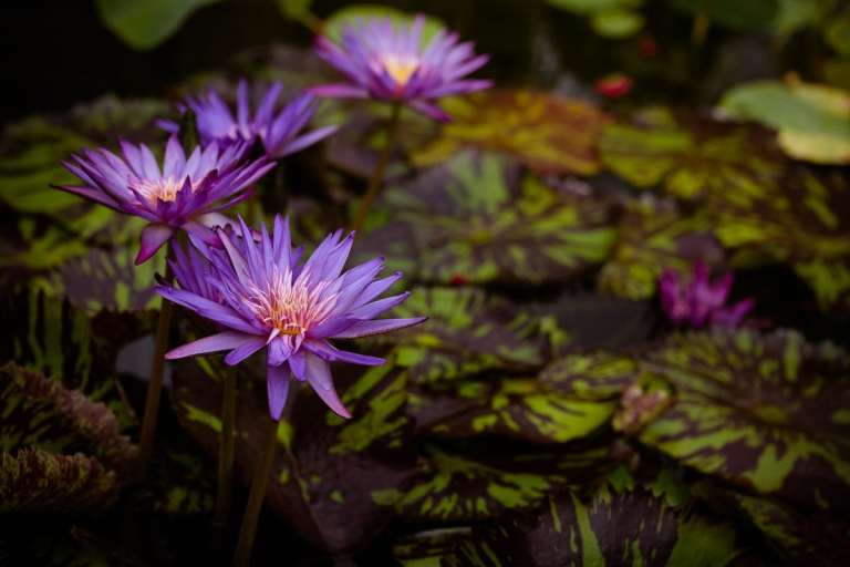 Purple water lilies and lily pads