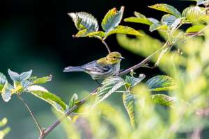 Small Yellow Pine Warbler Bird through green trees