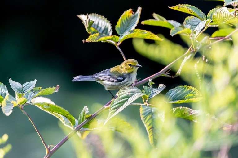 Small Yellow Pine Warbler Bird through green trees