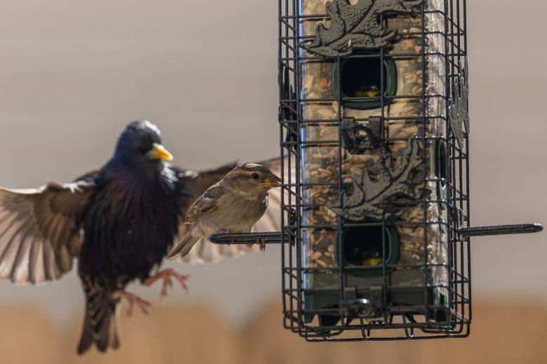 European Starling Taking Over