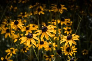 Field of black and yellow Black Eyed Susan Flowers