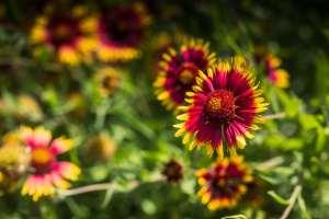 Red and yellow flower - Firewheel Texas Wildflower
