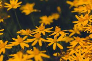 Yellow Huisache  Daisies With a Dark Green Background