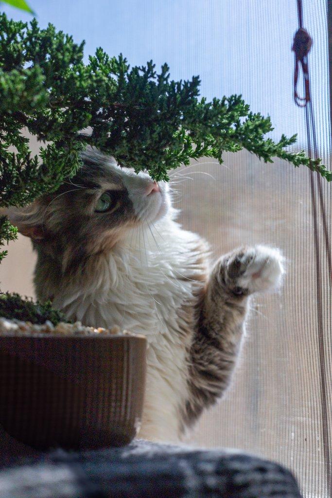 cat sniffing a bonsai tree