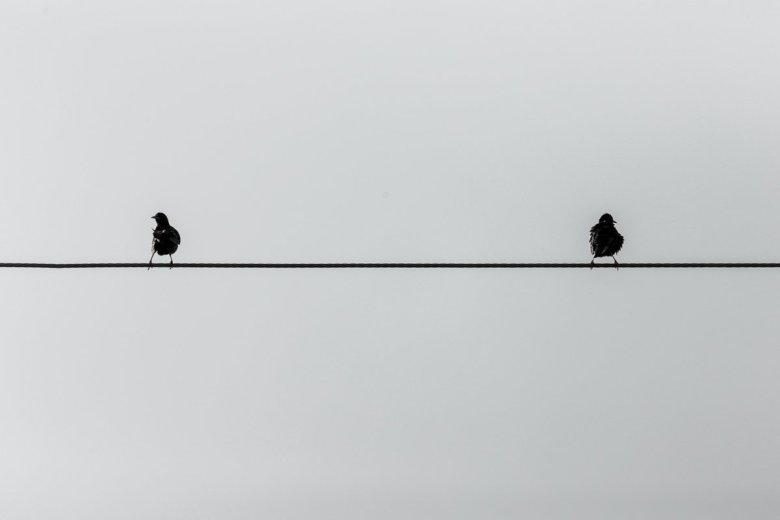 European Starlings rest on a Horizonal Wire