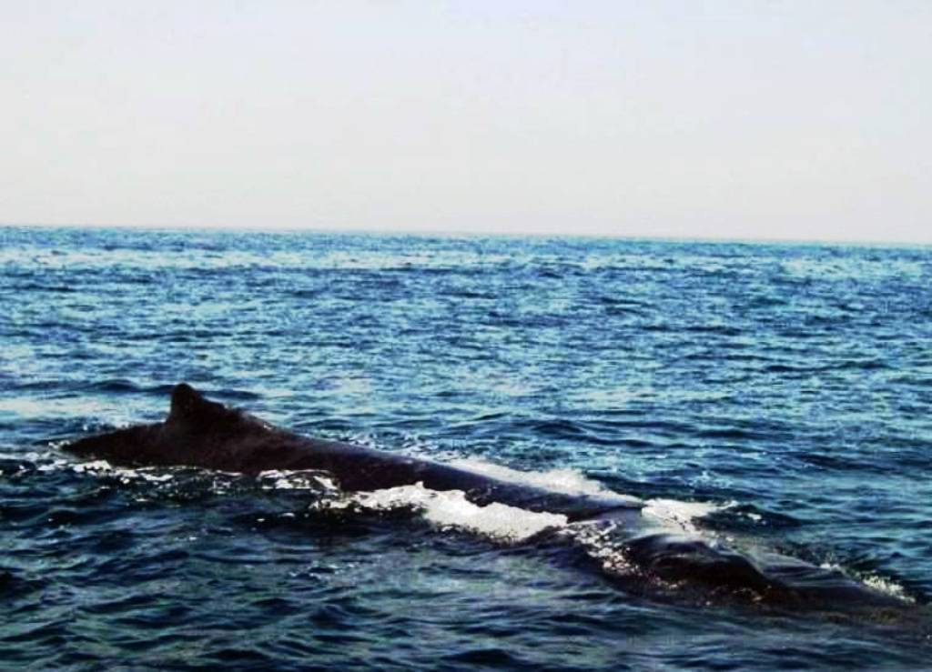 Arabian Sea Humpback Whales