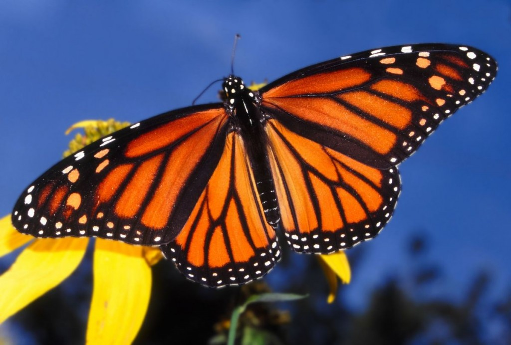 Falling Number of Monarch Butterflies Worries Conservationists