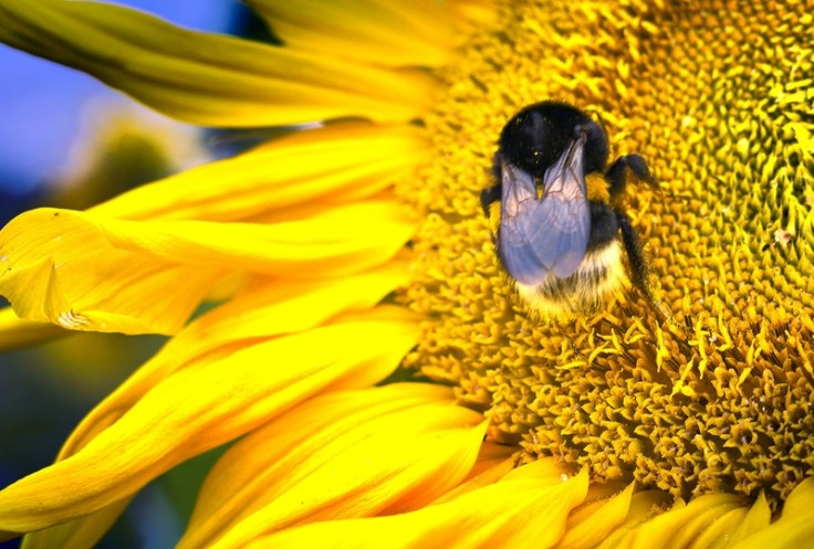Bumblebees Form False Memories