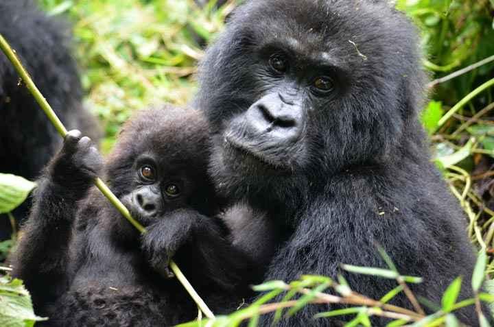 HIV virus came from gorillas