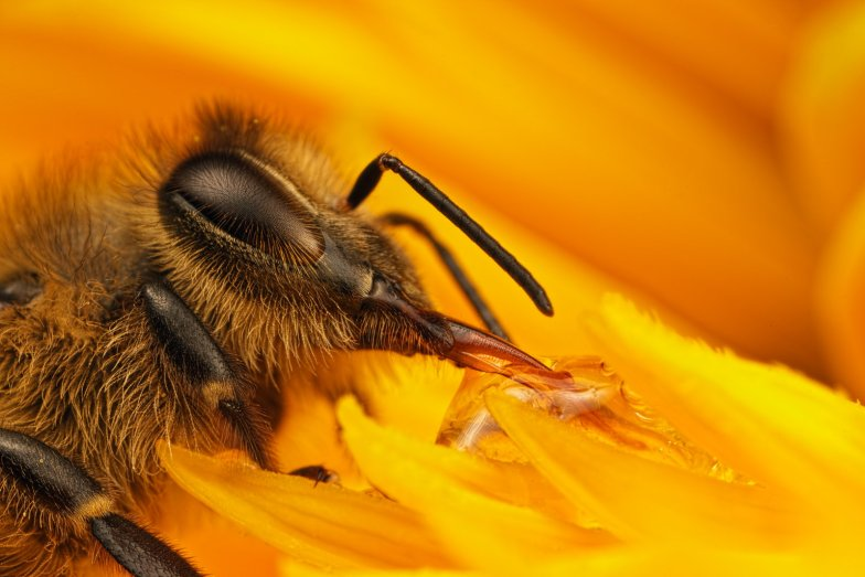 Bees Are Drawn To Pesticides In Nectar