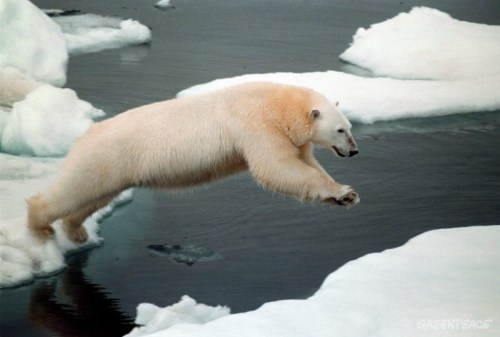 Polar bear on iceflow, Herald Island, Chuckchi Sea.