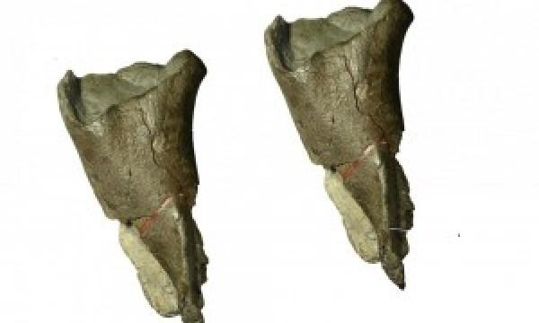 T.Rex fossil