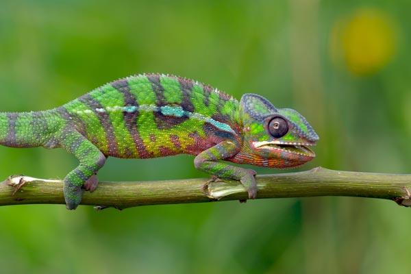 jaguar chameleon