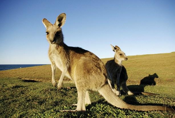 Kangaroos Prefer Their Evil Side