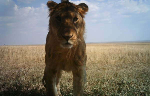 "alt=""lion captured by the serengeti snapshot"""