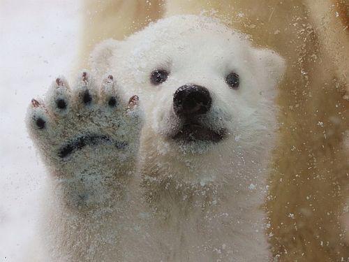 Polar Bears Will Die