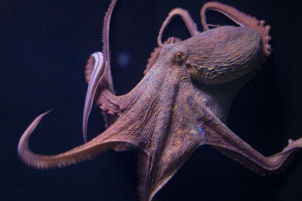 Genetic Secrets Of Octopi
