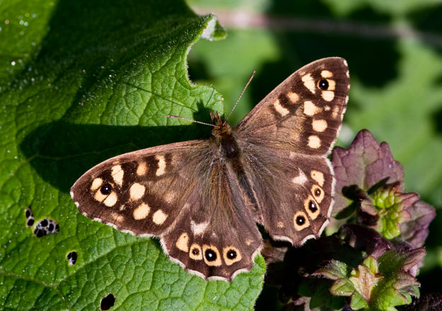 Butterflies Might Disappear By 2050