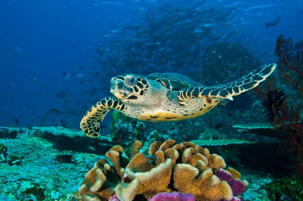 """hawksbill sea turtle is the first reptile that glows in the dark"""
