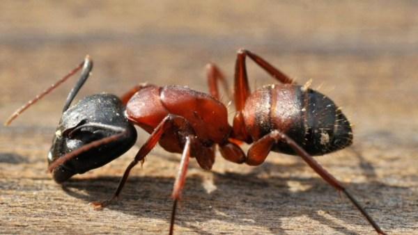 """""""carpenter ants social behavior"""""""