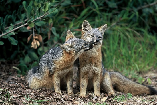 Pair of island foxes