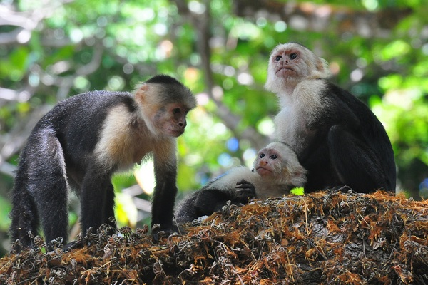 Three capuchin monkeys on a branch of a tree