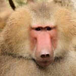Baboons Emit Vowel Sounds Similar to Humans