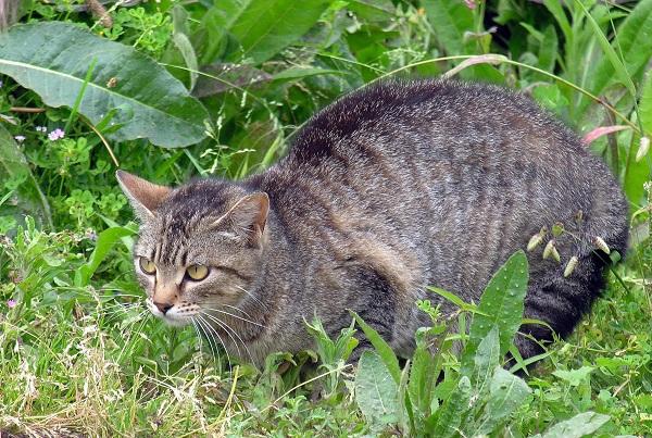 A feral cat
