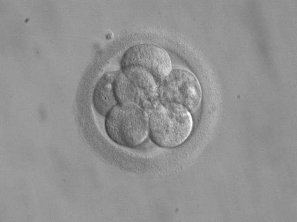 embryo seen under the microscope