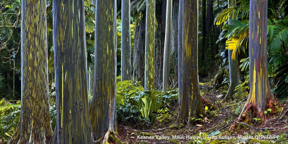 Rainbow eucalyptus Maui, Hawaii by Filip Kulisev, Master QEP, FBIPP