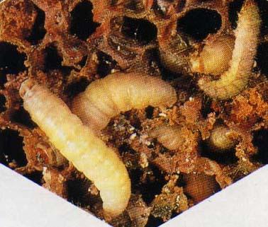 Risultati immagini per larve della cera d'api