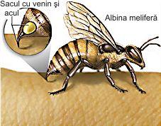 sacul cu venin si acul albinei melifere venom sac and bee sting