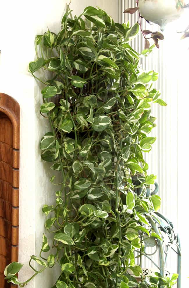 Indoor Vine Plants