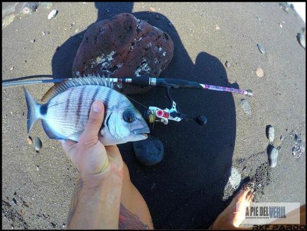 Sargo-rockfishing