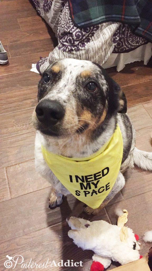 Django yellow anxiety collar - I Need my space dog bandana