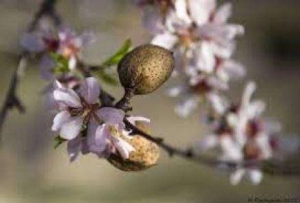 Detalle de almendra en rama con flor.