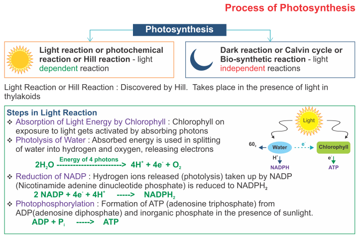 icse solutions for class 10 biology - photosynthesis