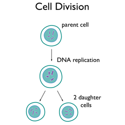 Cell division icse solutions for class 10 biology a plus topper question 2 name the two kinds of cell division found in living organisms answer meiosis and mitosis ccuart Image collections