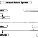 HSSLiVE Plus One Zoology Chapter Wise Previous Questions Chapter 10 Neural Control and Coordination 1