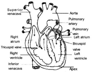 HSSLiVE Plus One Zoology Chapter Wise Previous Questions Chapter 7 Body Fluids and Circulation 2