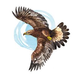 Krafttier - Adler