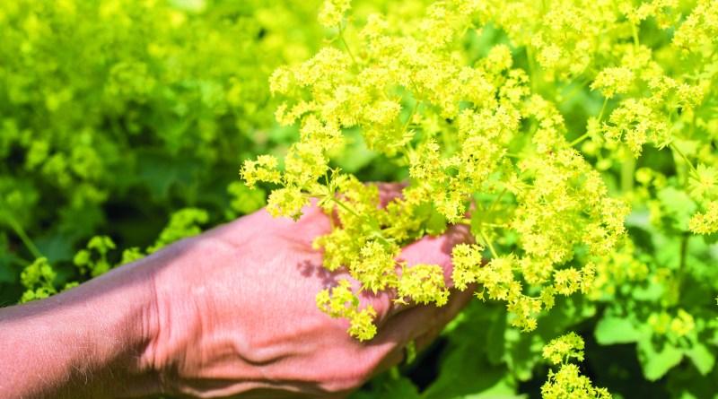 Heilkräuterwissen - Pflanzenheilkunde