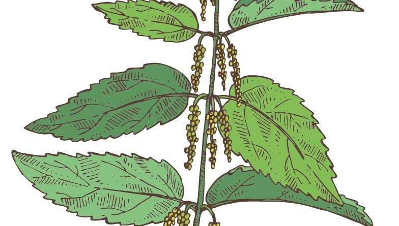Illustration einer Brennnessel. Natur-Apotheke im Mai